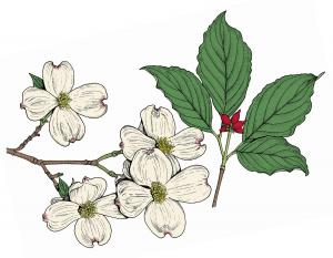 Flowering_Dogwood_Cornus_florida