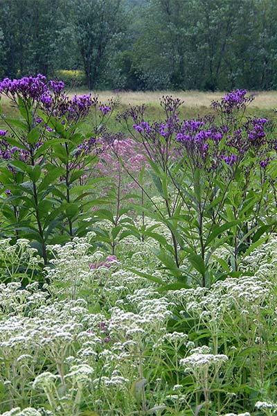 Wet Meadow <br> with Joe Pye, Boneset and Ironweed