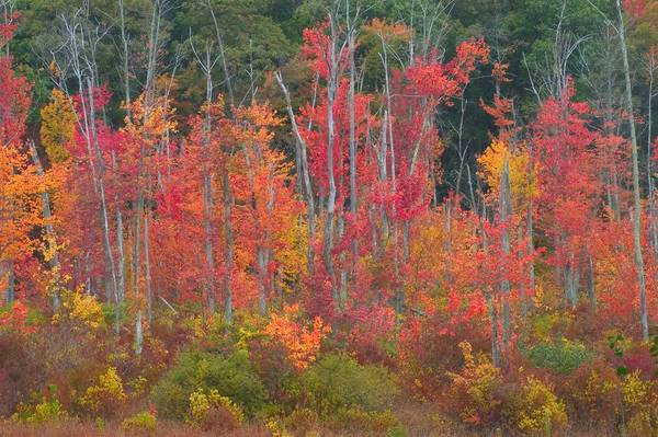 Red Maple Swamp in Fall
