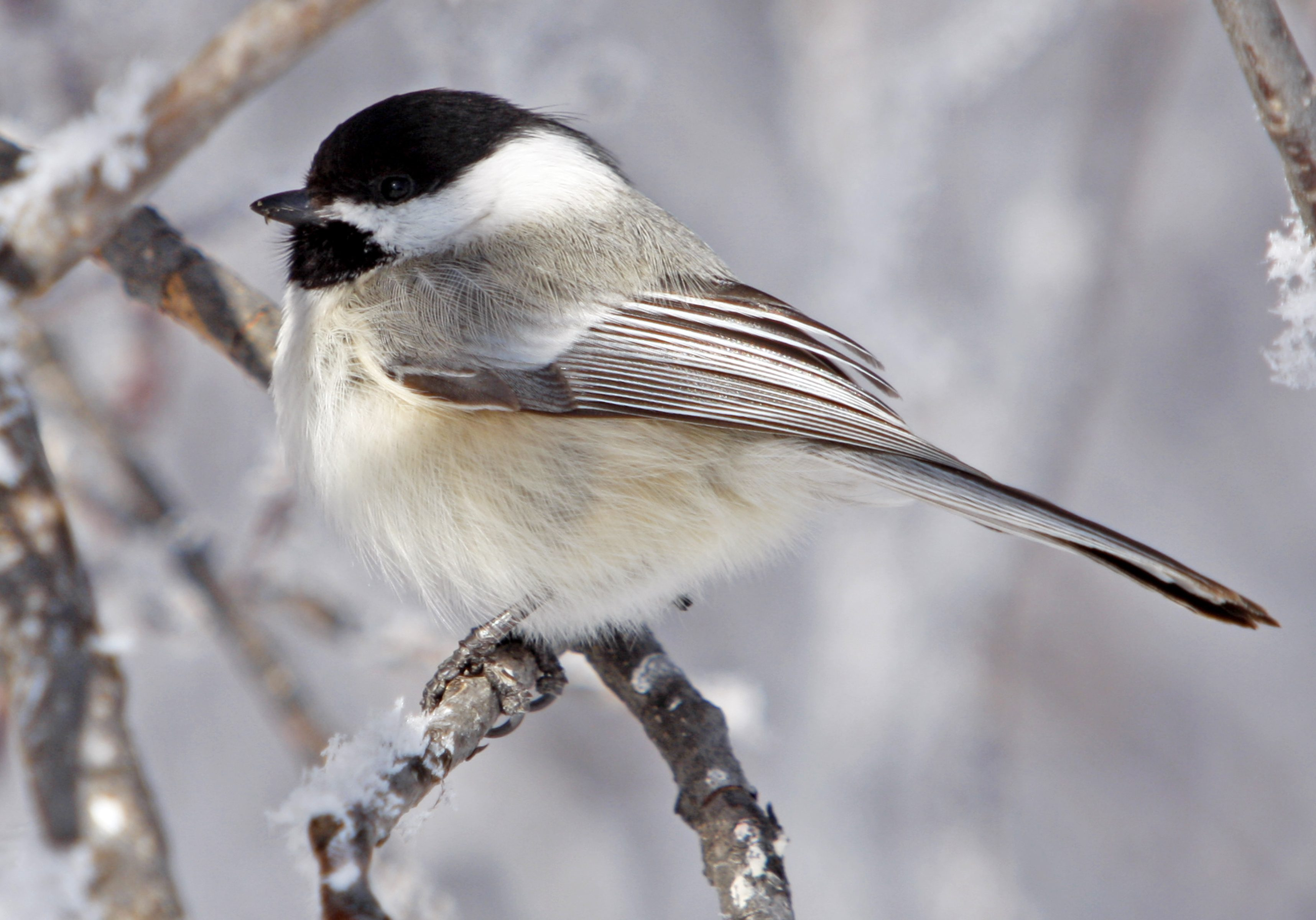 Black-Capped_Chickadee_(15290761526)